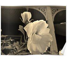 Fragrant Heritage Rose Poster