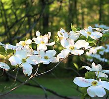 Dogwood Delight by teresa731