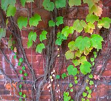Tapering Ivy on Wall by Joe Jennelle