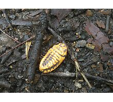 Scale Insect - Murramarang National Park Photographic Print