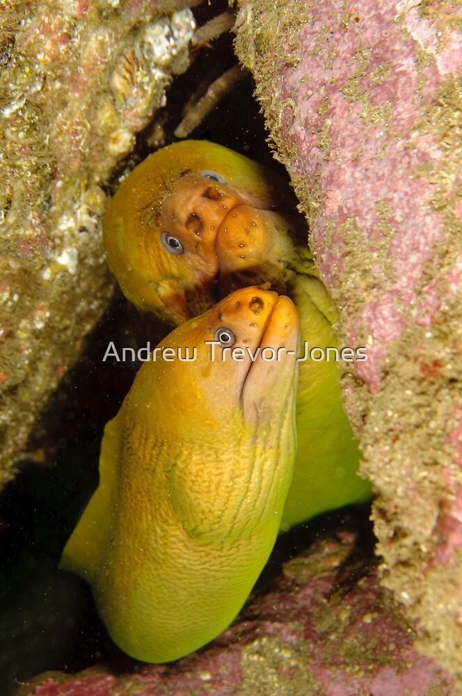 Green Moray Eels - Gymnothorax prasinus by Andrew Trevor-Jones