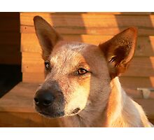 australian cattle dog - red heeler – spring sunset Photographic Print