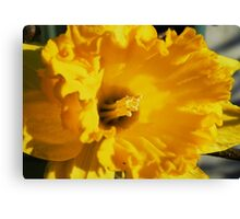 Daffodil Macro Canvas Print