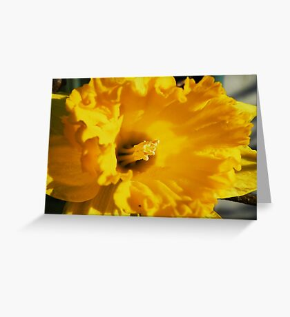 Daffodil Macro Greeting Card