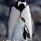 Lullaby (Gentoo Penguin &amp; Chick, Port Lockroy, Antarctica) by Krys Bailey