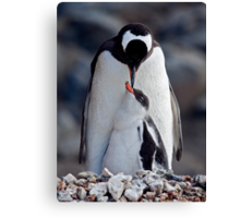 Lullaby (Gentoo Penguin & Chick, Port Lockroy, Antarctica) Canvas Print