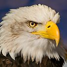 Bald Eagle by JMHPhotography