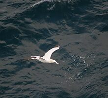 Lonesome Gannet on The Bay of Biscay by Keith Larby