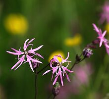 Ragged Robin in Summer Meadow by Tim Collier