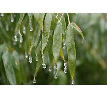 Freezing bamboo Photographic Print