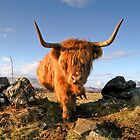 Highland Cow, Mull, Scotland by Tim Collier