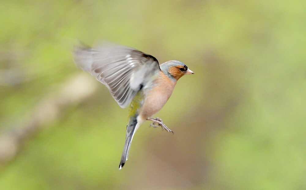 Chaffinch in Flight by Tim Collier