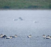 Eider Ducks in Heavy Rain by Tim Collier