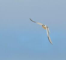 Little Tern by Tim Collier