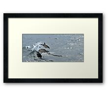 Common Dolphin, Treshnish, Scotland Framed Print