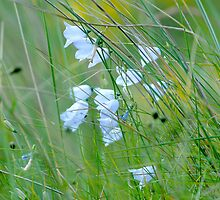 Harebells in Long Grass by Tim Collier