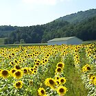 Sunflower Field by Annlynn Ward