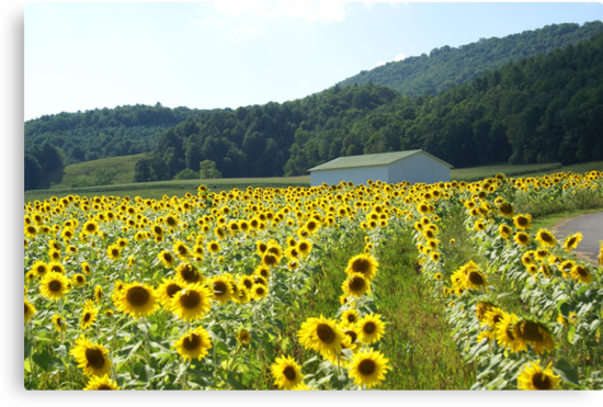 Sunflower Field by Annlynn Ward