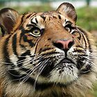Sumatran Tiger  by Mark Hughes