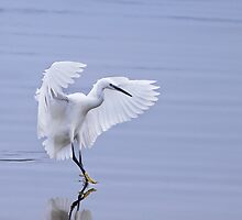 Lilttle Egret by Tim Collier