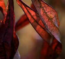 Alaskan Fireweed - Fall colors by Harry Snowden