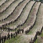Vineyard lines by solena432