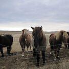Icelandic Horses by yiska