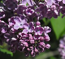 Sweet Scented Purple by Tracy Faught