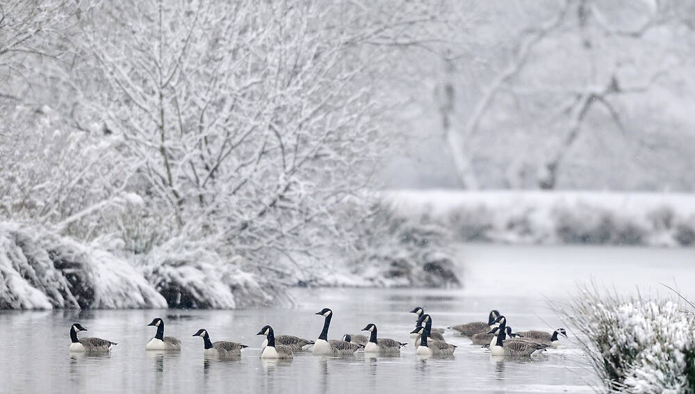 Frozen Lake with Canada Geese, Wales by Tim Collier
