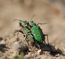 Mating Beetles by Tim Collier