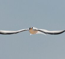 Little Tern by Tim Collier