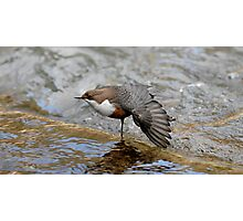 Preening Dipper Photographic Print
