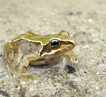 Common Frog by Tim Collier