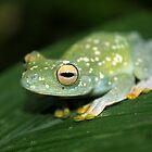 Scarlet-webbed Treefrog by Robbie Labanowski