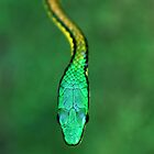 Bronze-backed Parrot Snake by Robbie Labanowski
