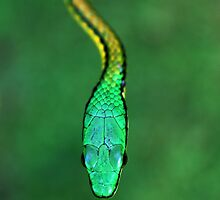 Bronze-backed Parrot Snake by Robbie Labanowski