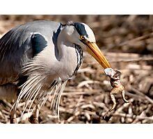Heron and Frog Photographic Print