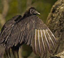 Black Vulture (American Black Vulture) by Winston D. Munnings