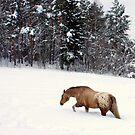 Appaloosa in Snow by Ritva Ikonen