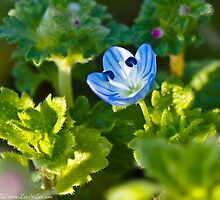 Out of the Blue - Bird's Eye Speedwell  by Lee Hiller