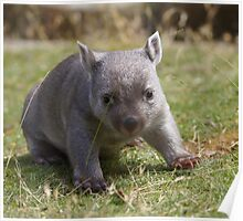 "OK - are you ""Dad""? - no?-Tunna the baby wombat , now 2 Kg and  looking good Poster"