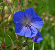 Wild Flower by Lee d'Entremont
