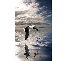 Dominican Gull Photographic Print