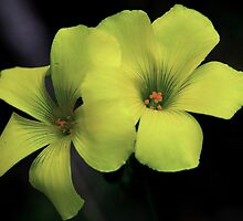 Oxalis pes-caprae by andrachne