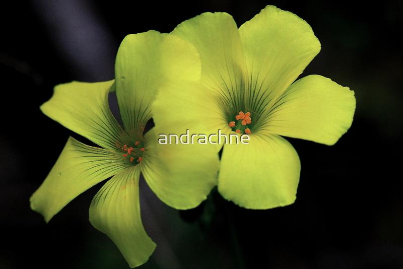 Oxalis pes-caprae by andrachne