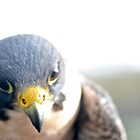 Thoughts of the Peregrine  by LAaustin