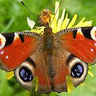 Peacock butterfly by MartynJames