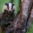 Badger, Devon by Tim Collier