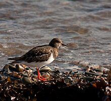 Turnstone by Jon Lees