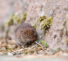 Water Vole by Tim Collier